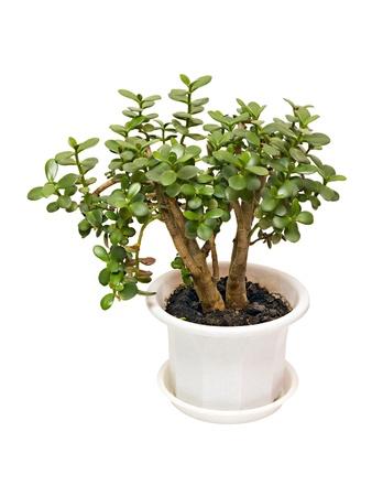 흰색 배경에 고립 된 관엽 식물 돈 나무 crassula 스톡 콘텐츠