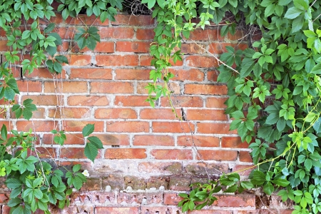 brick wall overgrown with ivy in the background photo
