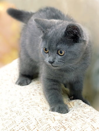 banter: British breed kitten smoky-gray color while playing