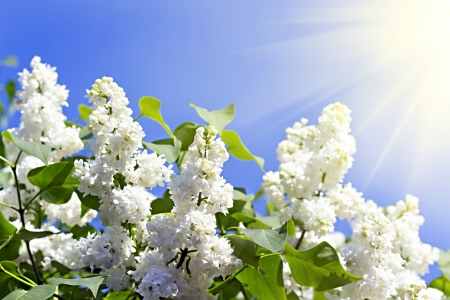 branches of white lilac blossoms in the sun Stock Photo