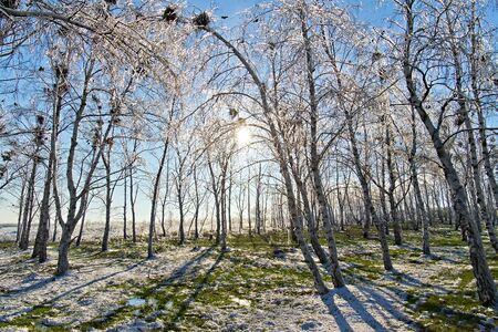 ice the birch grove at sunset photo