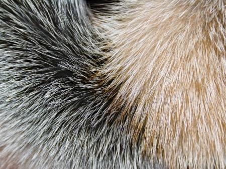 arctic fox: Arctic fox fur closeup as background Stock Photo