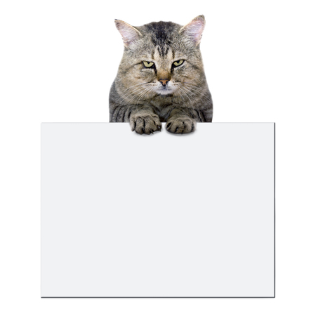 cat rests on a blank banner on white background photo
