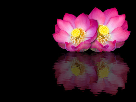 Indian lotus mirror reflection on black background photo
