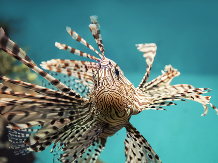 pterois volitans: venomous coral reef fish Red lionfish (Pterois volitans)