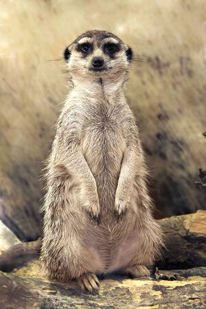 suricata suricatta: meerkat (Suricata suricatta) standing looking at the camera Stock Photo