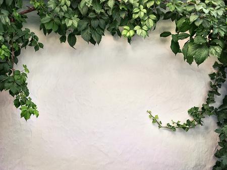 白い漆喰壁によじ登り植物