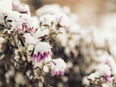 sprinkled: pink flowers sprinkled with fallen snow