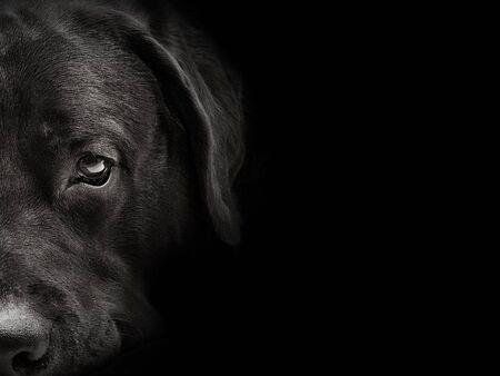 dark muzzle labrador dog closeup. front view Фото со стока