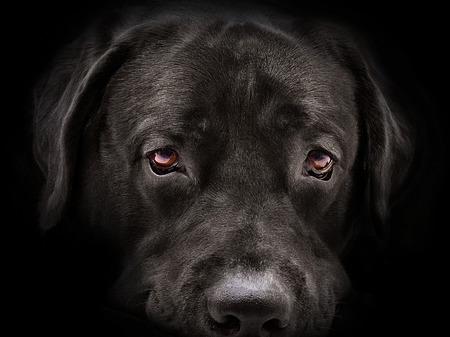 어두운 총구 래브라도 강아지 근접 촬영입니다. 전면보기