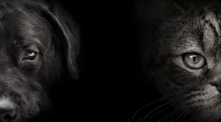 labrador: dark muzzle labrador dog and cat Scottish closeup. front view Stock Photo
