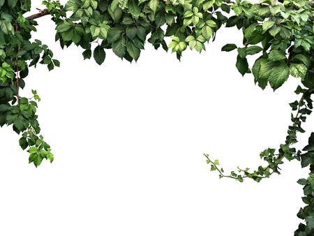 Het frame van de klimplant op een witte achtergrond Stockfoto - 57428851