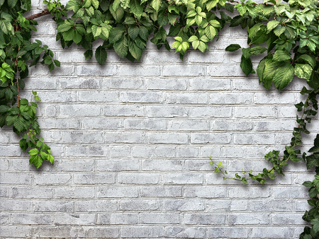 climbing frames: climbing plant on the white brick wall