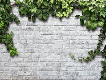 Planta que sube en la pared de ladrillo blanco