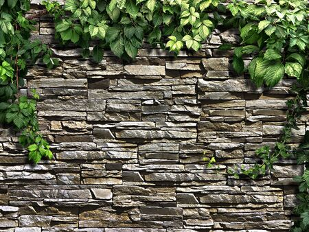 climbing plant: climbing plant on the old stone wall