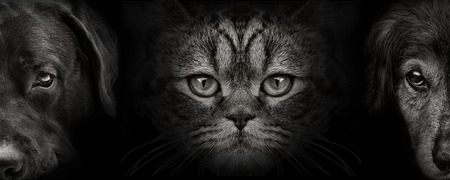 donkere snuit labrador en spaniel hond en kat Schotse close-up. vooraanzicht