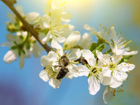 bee collects nectar on a cherry flower. close-up 版權商用圖片