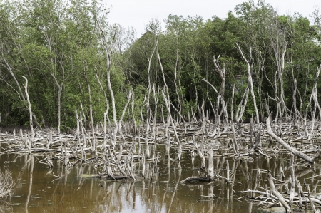 Dead tree landscape in late sun - mangrove forest