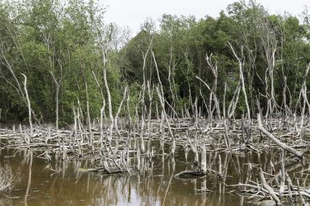 Dead tree landscape in late sun - mangrove forest photo