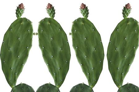 Cactus Opuntia aisladas sobre fondo blanco