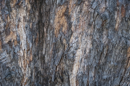 Bark of Pine Tree texture photo