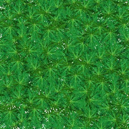 Green Papaya leaf background photo