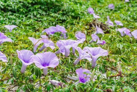 Gloria Planta violeta en la luz del sol