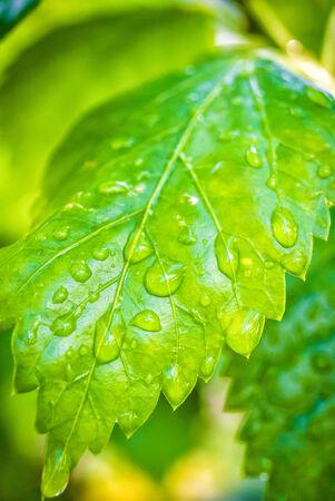 Rain on a green leaf .