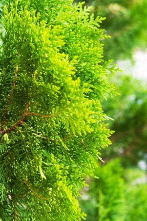 fir  tree: Closeup of fir tree