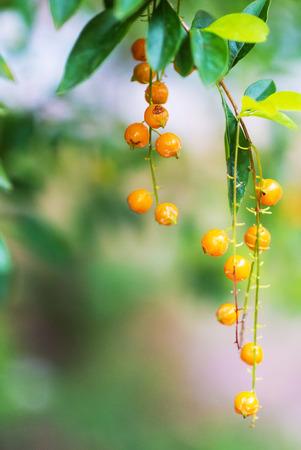 dewdrop: golden dewdrop, Duranta erecta .
