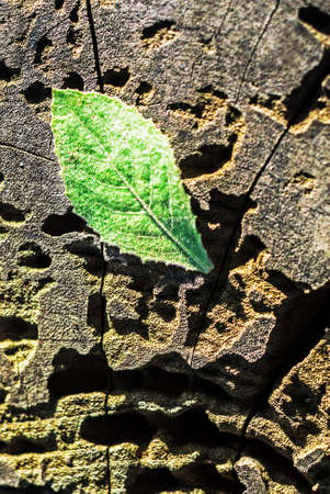 minty: An Leaf on old wood in sun light . Stock Photo
