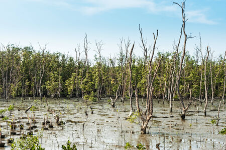 An Mangrove Forest dead tree place . photo