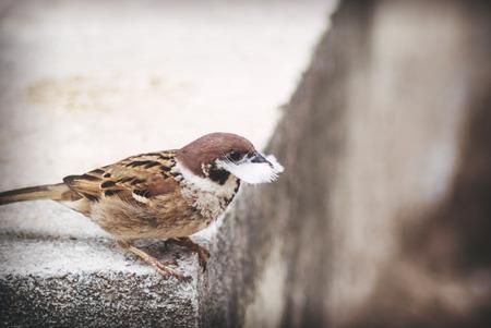 tele: Tree Sparrow in sunlight with tele photo len .