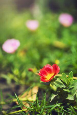 Flor Verdolaga Com�n y la hoja de cerca.