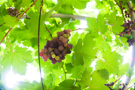 western slope: An grape fruit of nature in soft light .