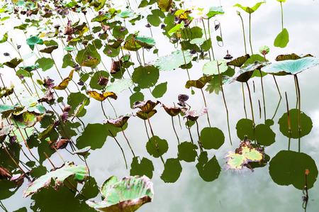 An Lotus leaf die in sun light . Stock Photo