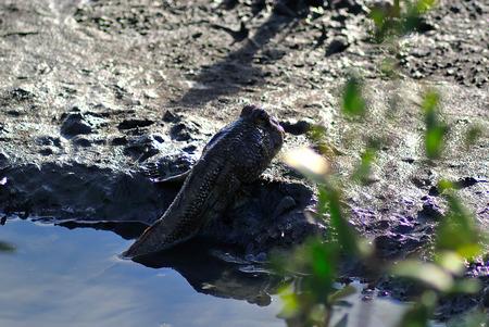animals amphibious: An mudskipper fish in nature place .