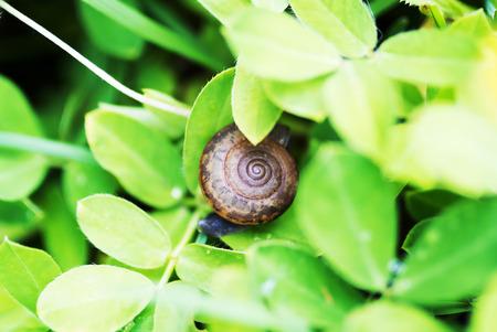garden green: An Snail on leaf in garden green grass .