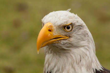 wing span: head of bald eagle Stock Photo