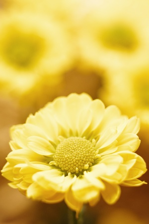 Beautiful spring chrysanthemum flowers on yellow background with copyspace Stock Photo