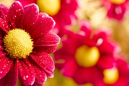 hi res: Beautiful dewy chrysanthemum flowers on yellow background with copyspace