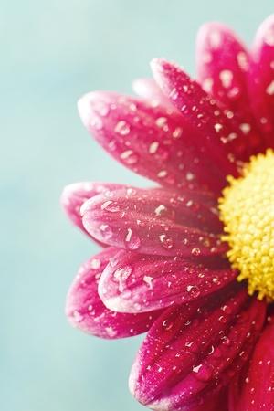 Hermosas flores de crisantemo rocío en fondo azul con copyspace Foto de archivo