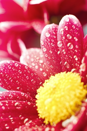 Beautiful dewy chrysanthemum flowers with copyspace Stock Photo - 12719640