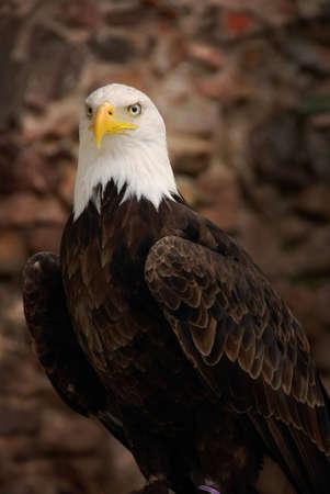 bald eagle: �guila calva con fondo de piedra borroso  Foto de archivo