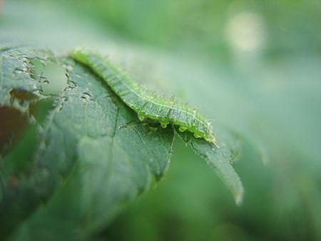 tarsus: bruco verde
