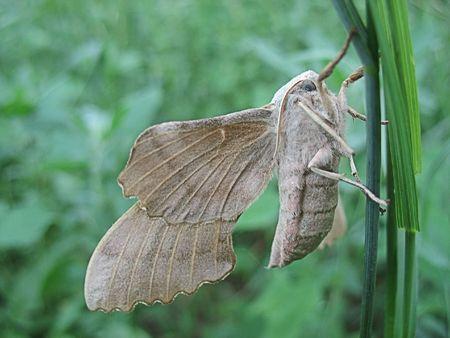 herbage: Night moth