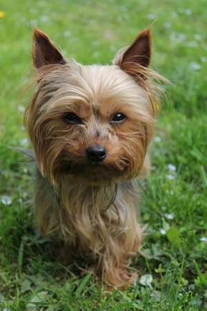Yorkshire terrier on a green lawn in the garden