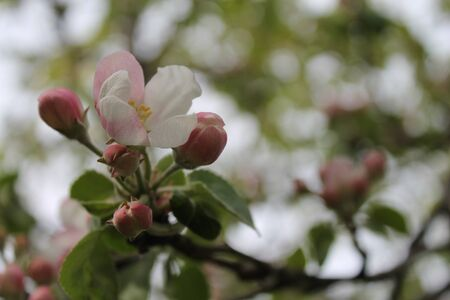 Flower of apple tree