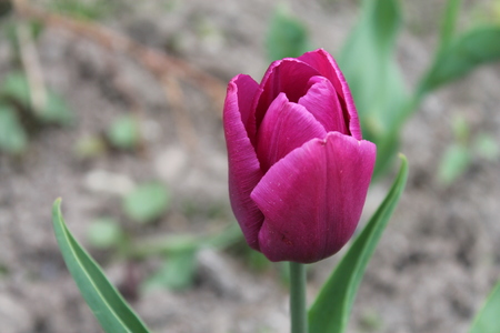 Beautiful pink tulip