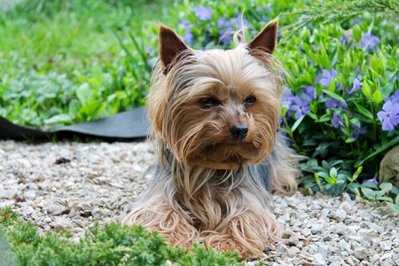 Yorkshire Terrier on a background of a garden, bushes and white pebbles